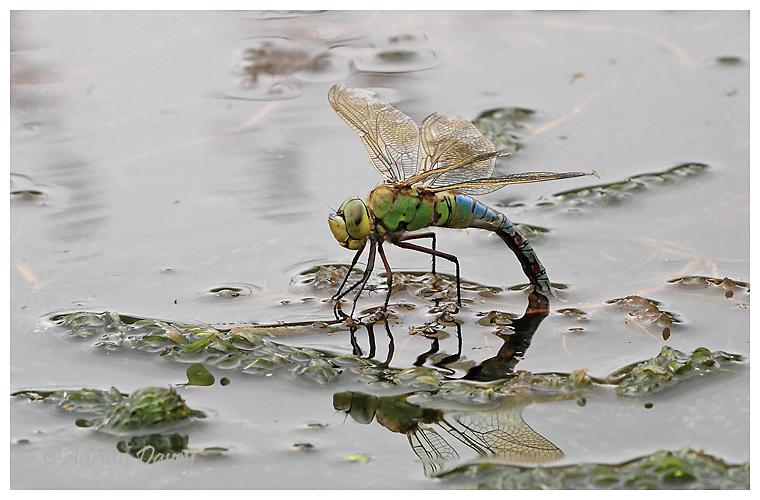 Female Emporer ovipositing