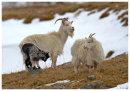 Feral Goat family