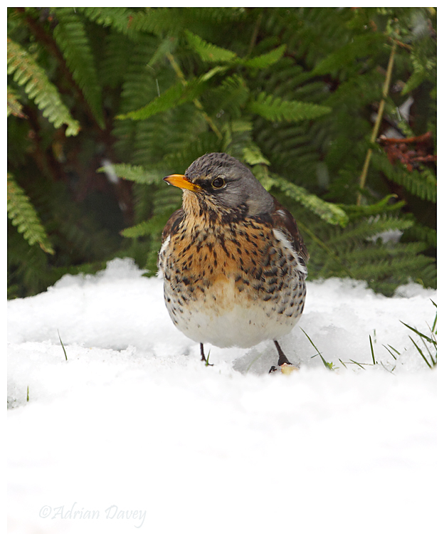 Fieldfare in the snow 2