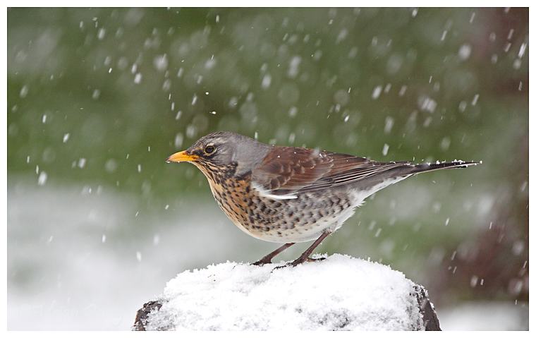 Fieldfare in the snow 1