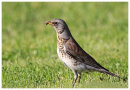 Fieldfare with food for young.