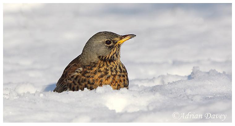 Fieldfare in deep snow