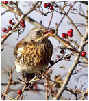 Autumn Fieldfare
