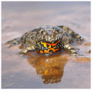 Fire Bellied Toad 2