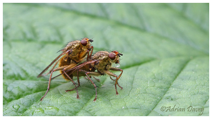 Yellow Dung Flies mating