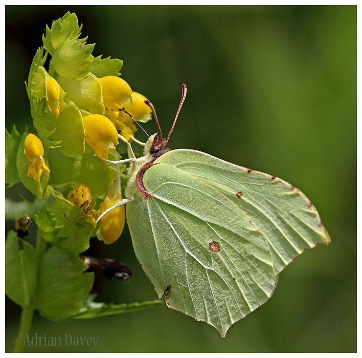 Brimstone on Yellow Rattle