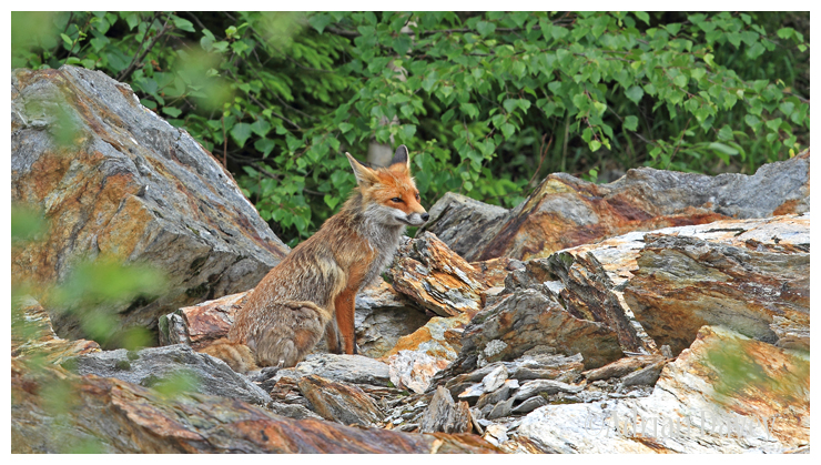 Fox on the Rocks 2