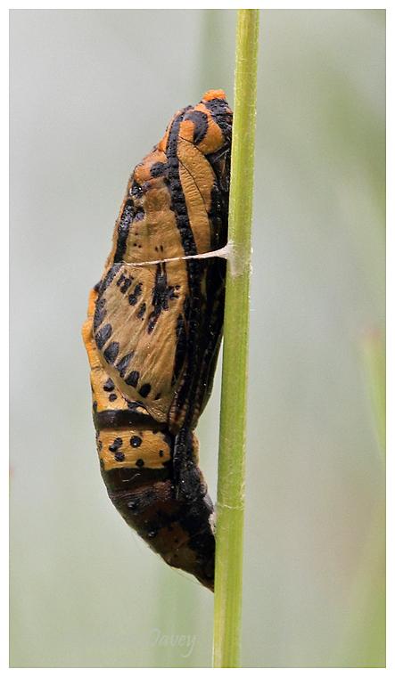 Pupa (unknown species)