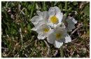 Alpine flower.