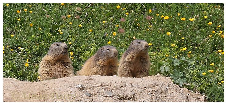 Marmots.The judging panel.