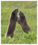 Marmot scrap