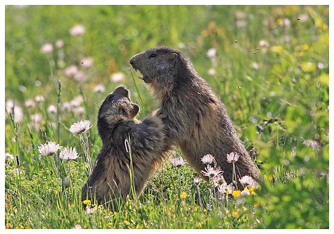 Marmot fight.