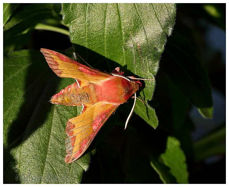 Small Elephant Hawk Moth