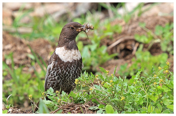 Ring Ouzel female with food for its young