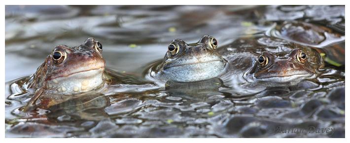 Three Common  Frogs