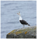 Great Black Backed Gull calling