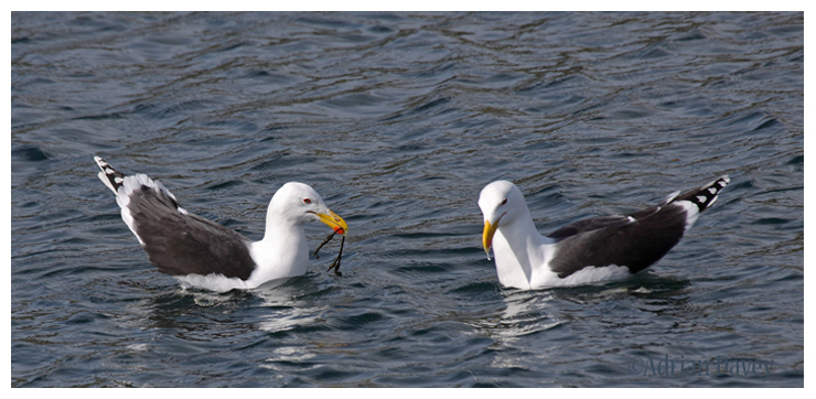 Battle of the Great Blacked Gulls_1. The pair of Gulls were just starting to get to know each other
