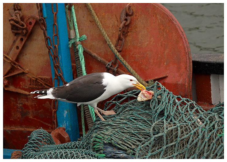 Great Black Backed Gull on fishing boat