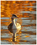 Autumn Grebe 1