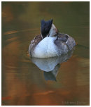 Autumn Grebe 3