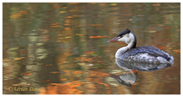 Autumn Grebe 5