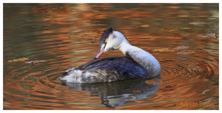 Autumn Grebe 6