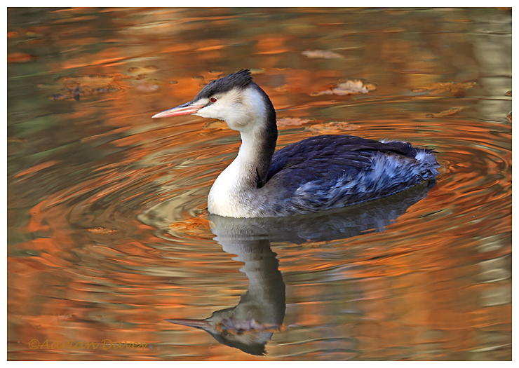 Autumn Grebe 7