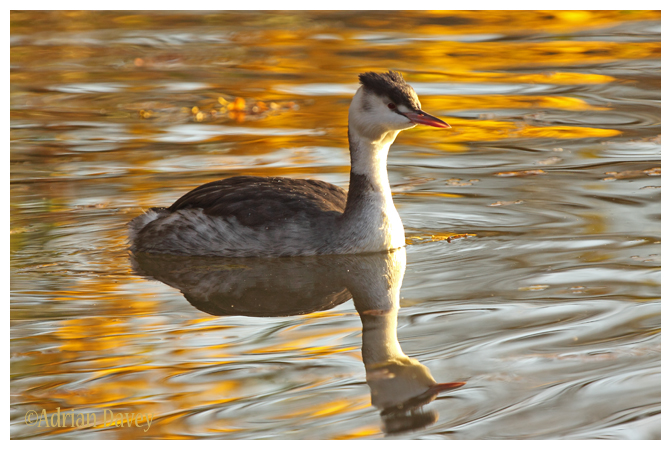 Autumn Grebe 2
