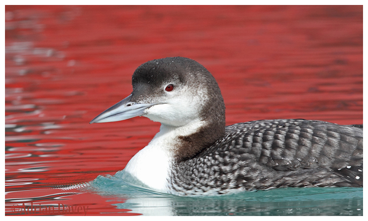 Great Northern Diver on red water