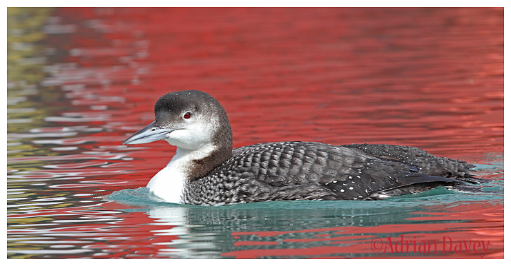 Great Northern Diver on red water 2