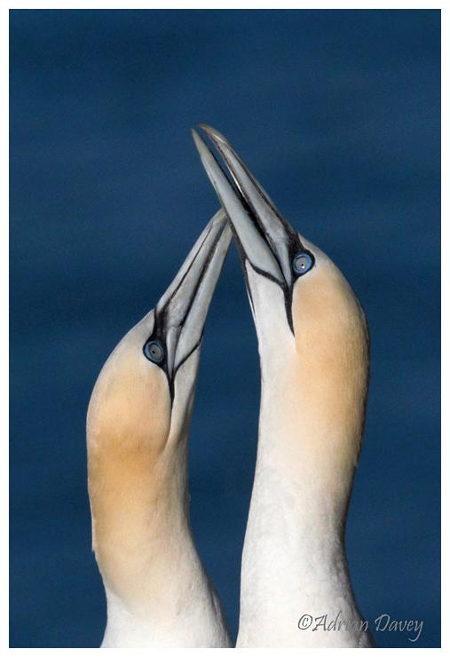 Gannets meeting