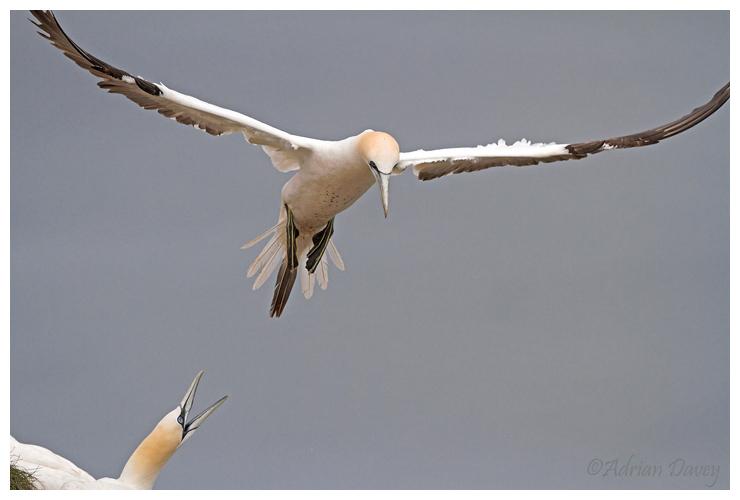 Gannet agression