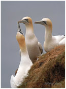 Gannets greeting 2
