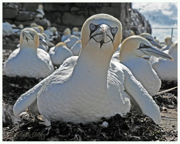 Gannet at nest