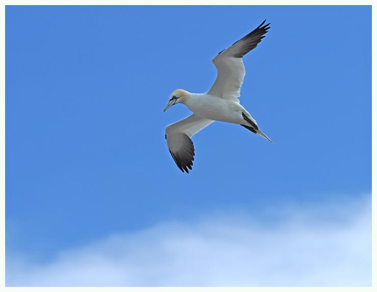 Gannet flyover