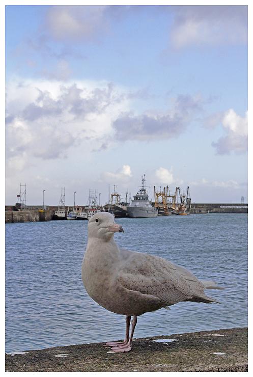 Glaucous Gull juvenile in harbour.