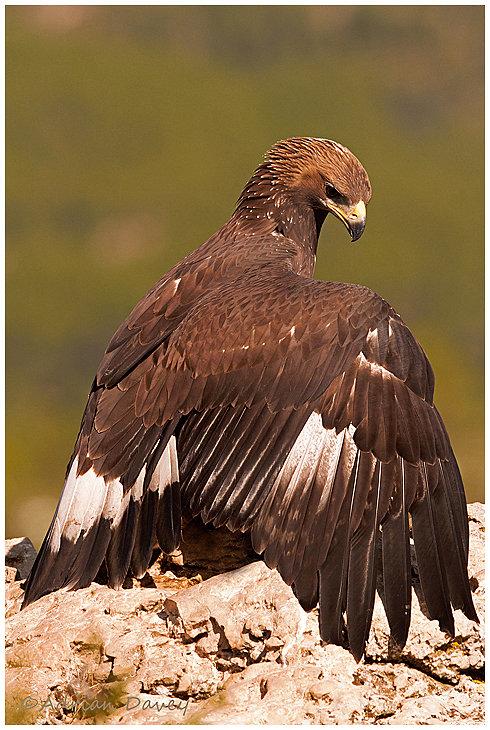 Golden Eagle mantling prey