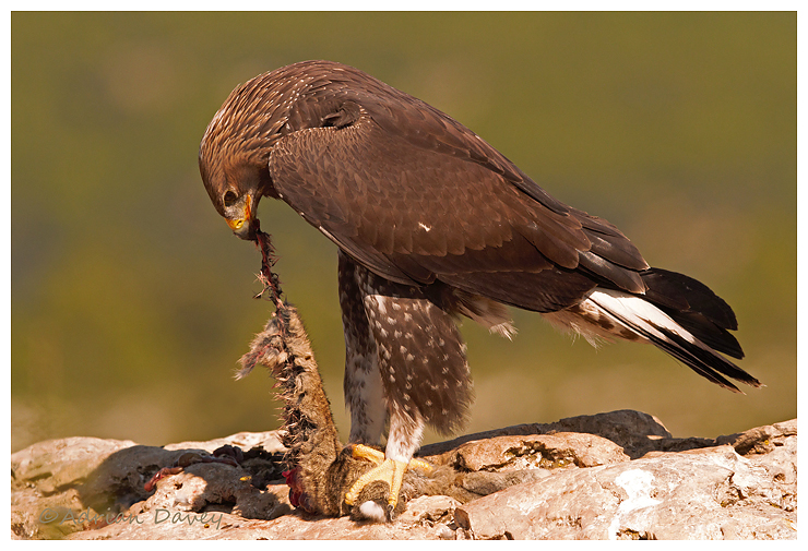 Golden Eagle eating Rabbit