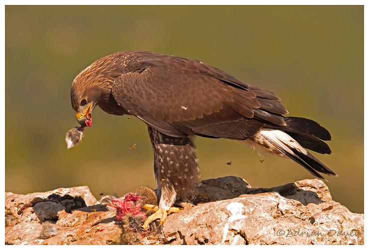 Golden Eagle eating Rabbit
