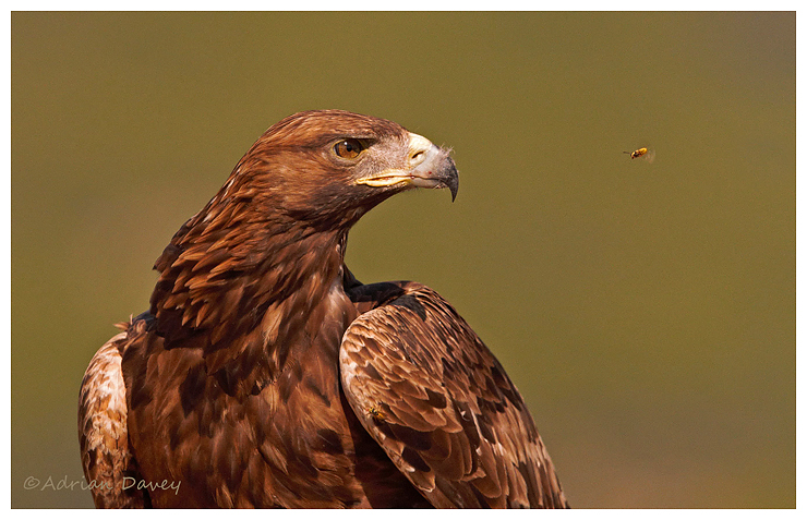 Golden Eagle ( and Wasp)