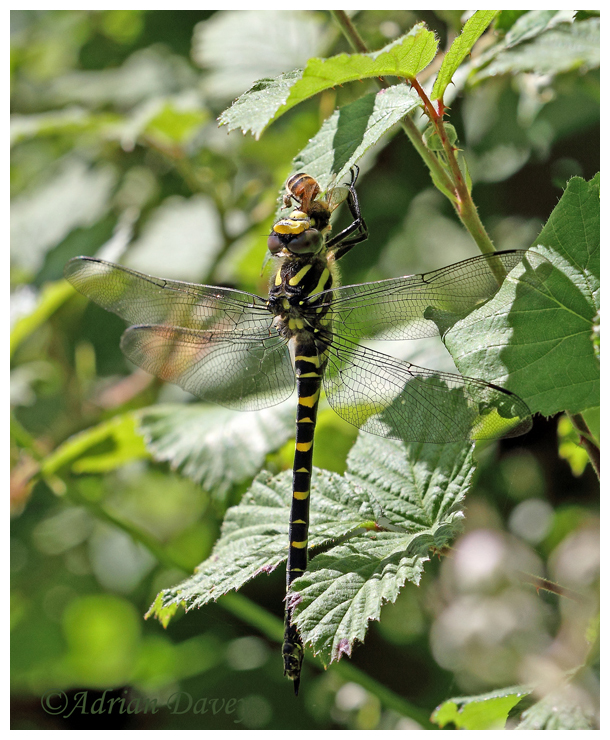 Golden Rinfed Dragonfly with Hoverfly prey