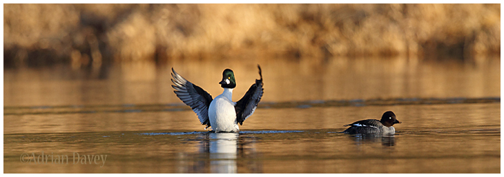 Goldeneye pair.