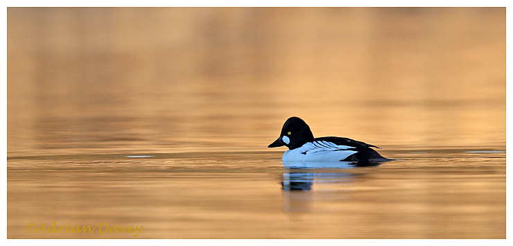 Goldeneye in late afternoon light