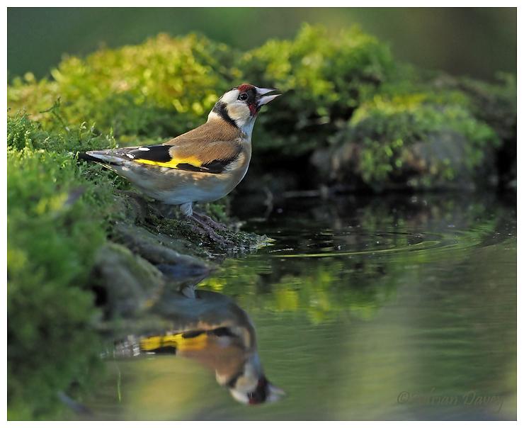 Goldfinch drinking