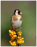 Goldfinch on Berberis