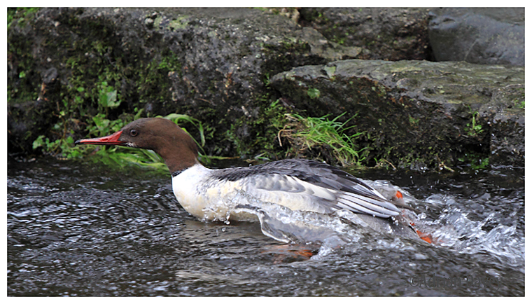 Goosander first winter male ,swimming against the current.