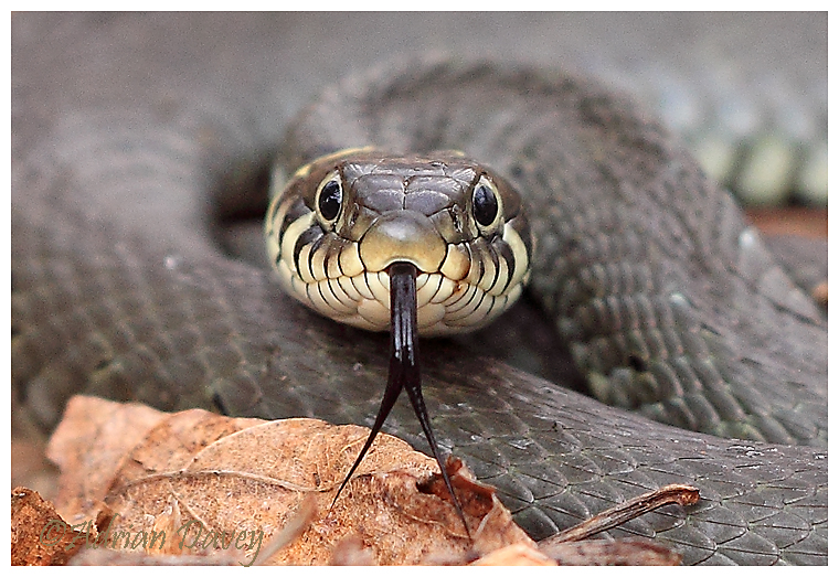 Grass Snake portrait ( Crop of the previous photo)