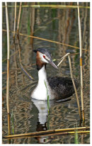 Great Crested Grebe (framed)