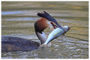 Great Crested Grebe with catch 2