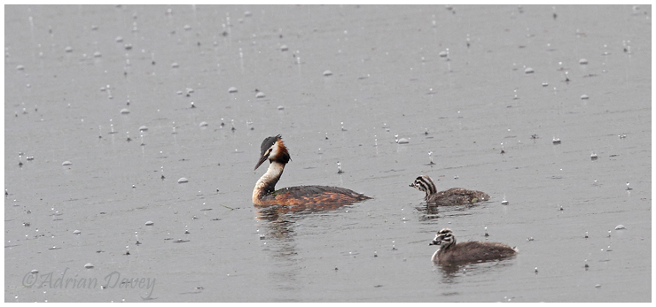 Great Crested Grebe adult with two young in a downpour